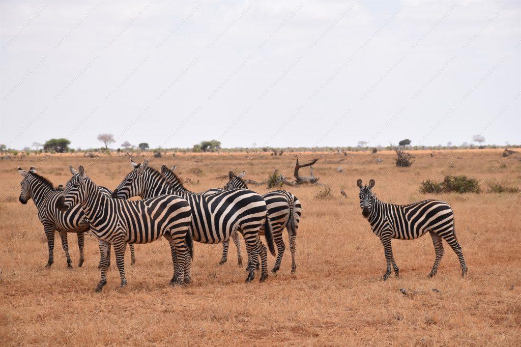 Zebras in Tsavo East nationa park
