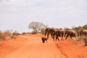 The Red Elephants of Tsavo National Park