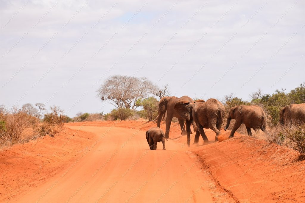 The Red Elephants of Tsavo East,  Kenya