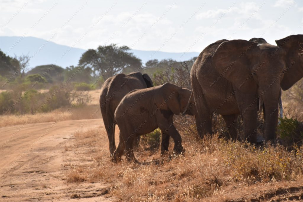 The red elephants of Tsavo National Park in Kenya