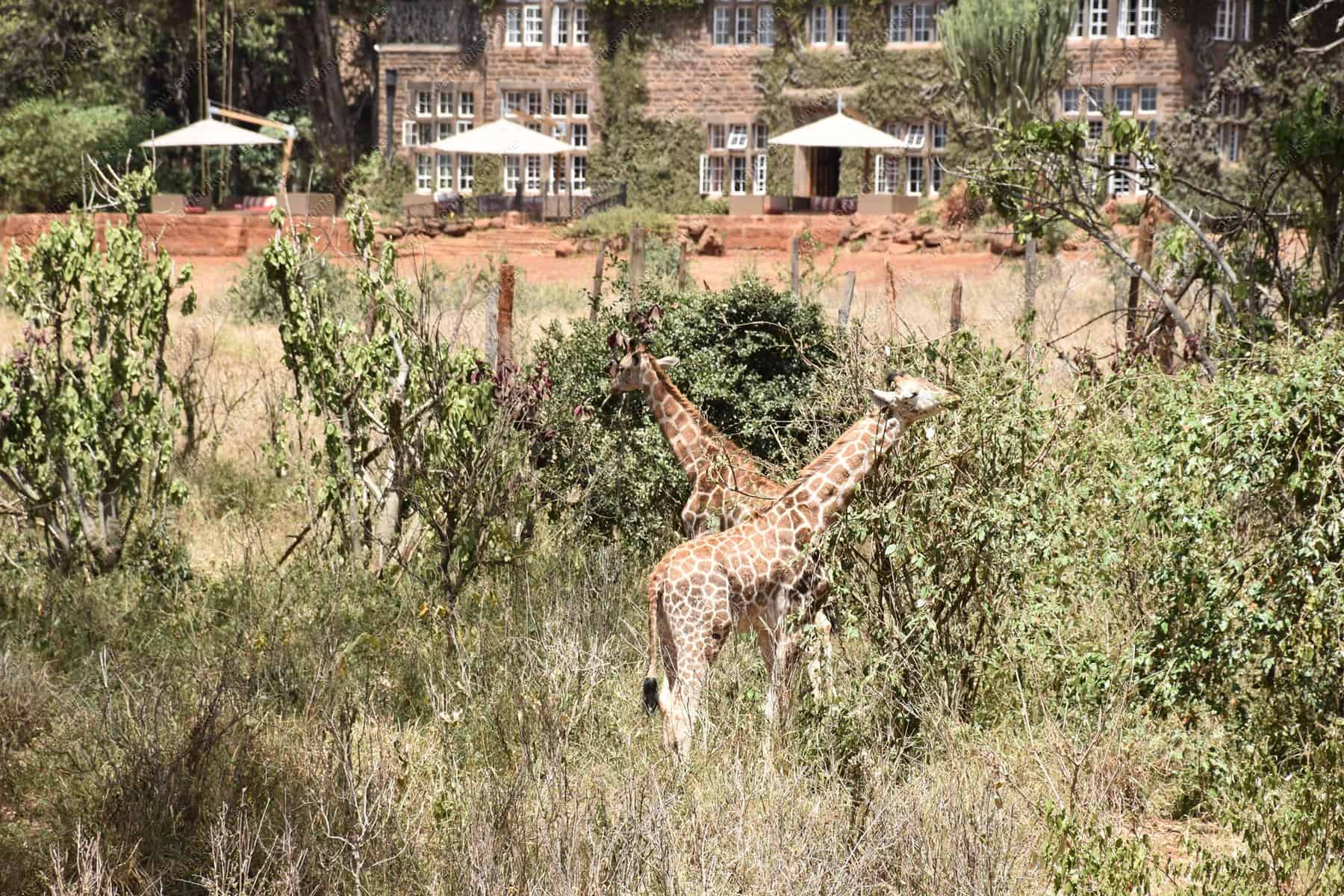 Giraffe Center and Giraffe Manor Nairobi